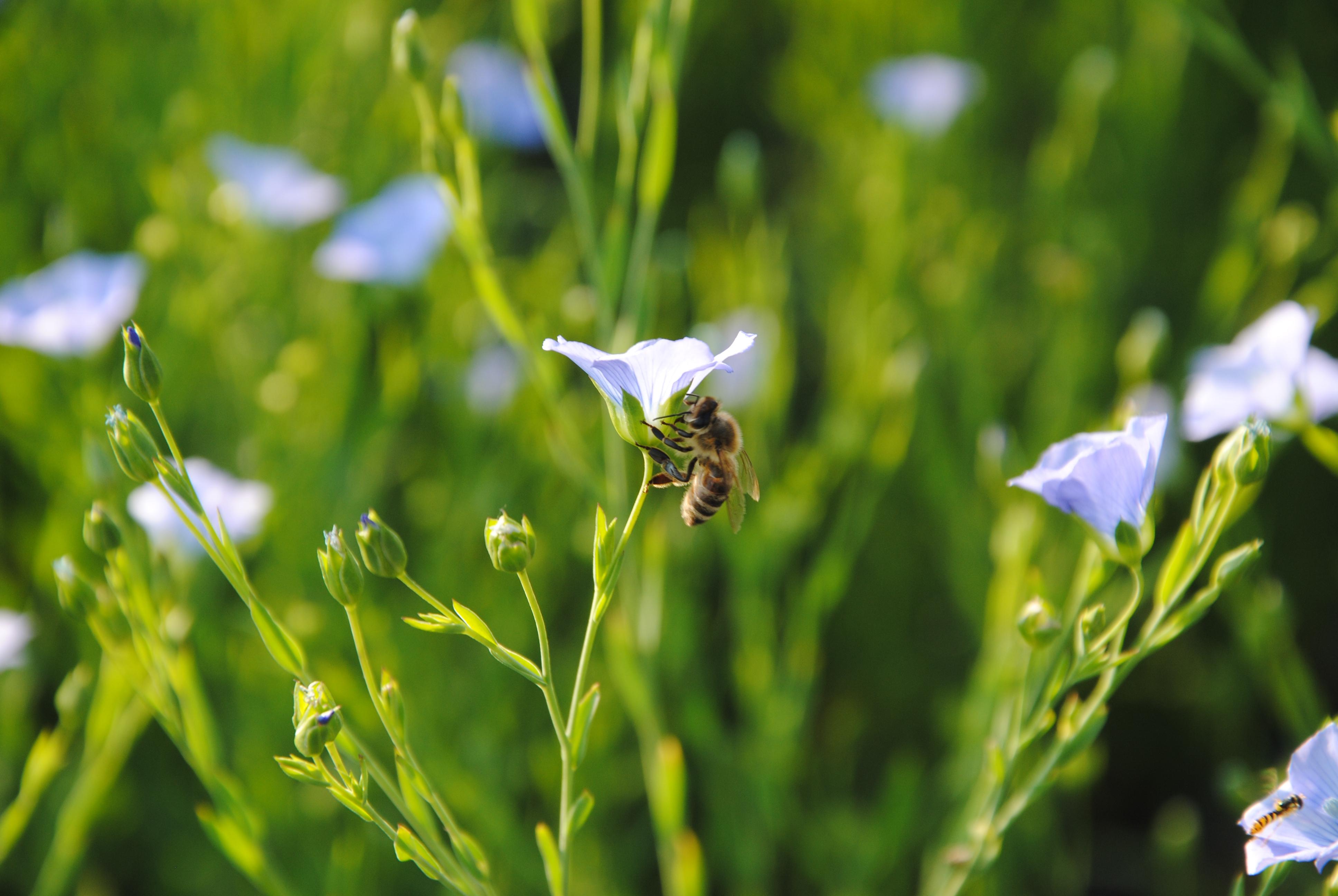 lan in čebela