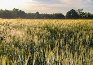 Polje durum pšenice